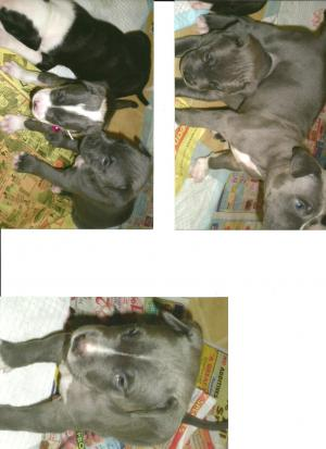 BluenosePitbullmastiffPuppiesforSale